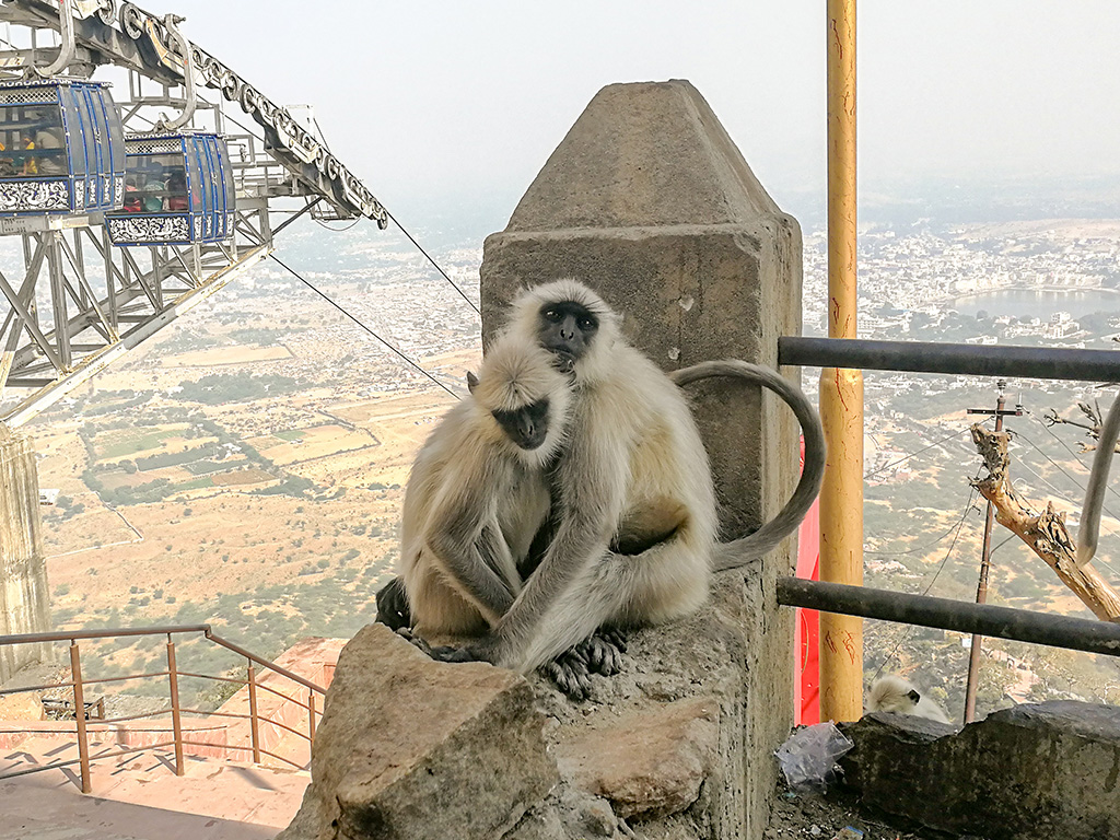 Monkeys at Temple Savitri Mata