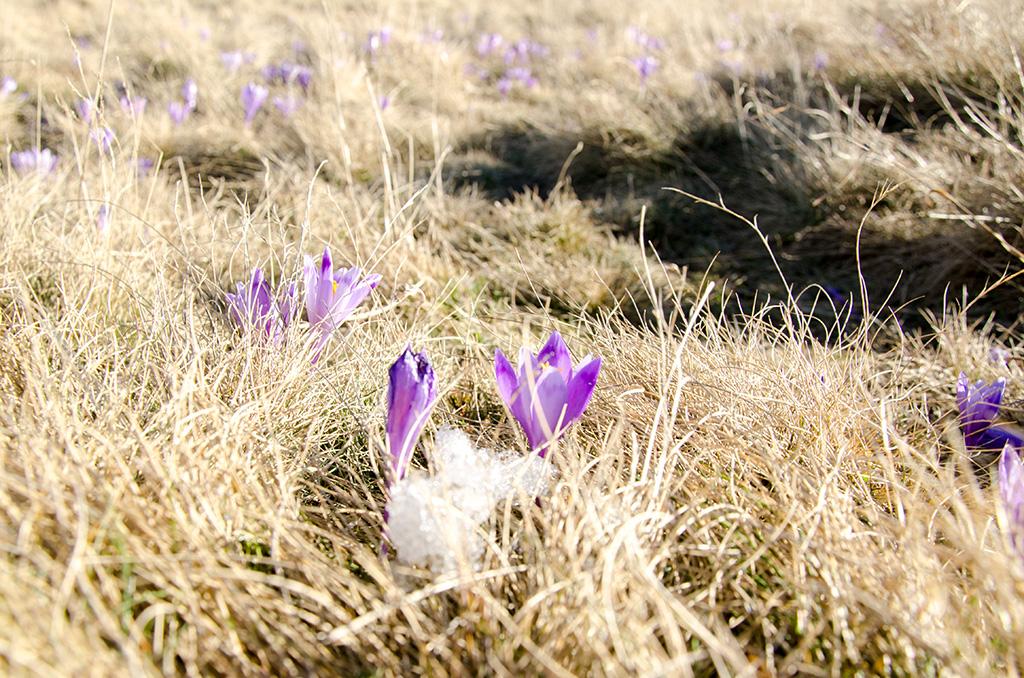 Spring flowers - Bucegi Plateau