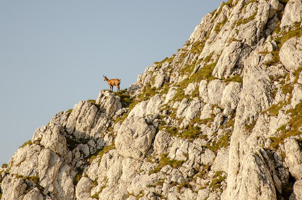 Black goat - The Piatra Craiului Massif