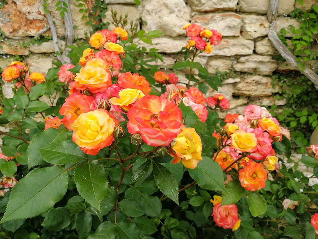 Roses - Balchik Castle