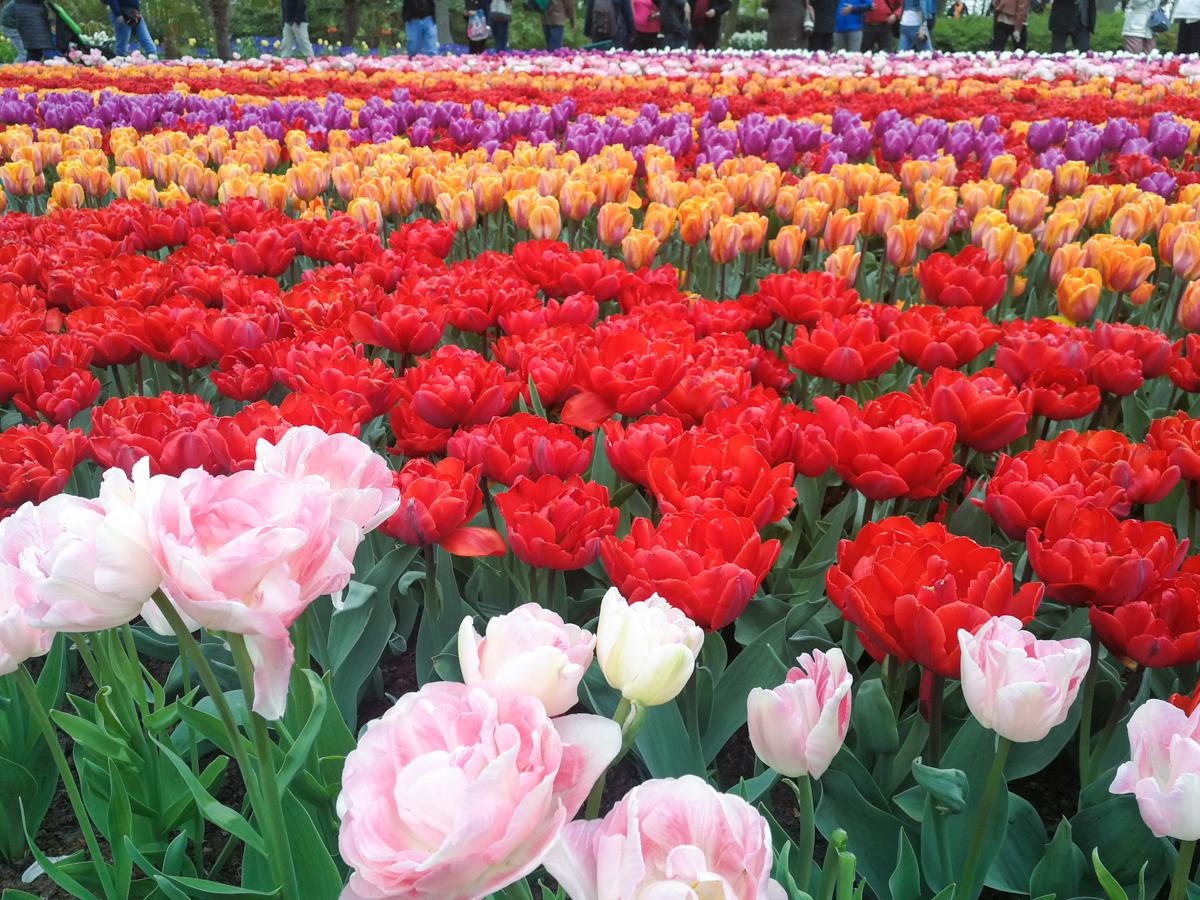 Tulips in Keukenhof Garden